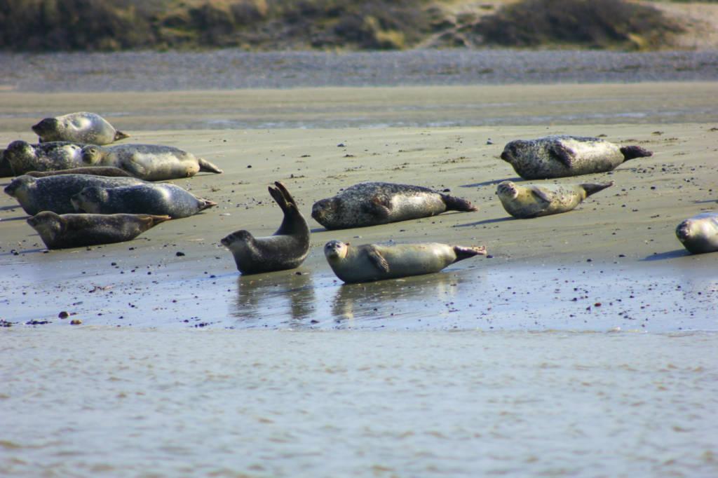 phoques en Baie de Somme
